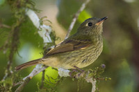 Olive-striped Flycatcher (Mionectes olivaceus)
