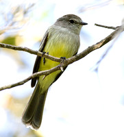 Northern Scrub Flycatcher (Sublegatus arenarum)