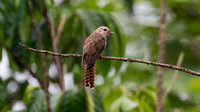 Plaintive Cuckoo (Cacomantis merulinus) hepatic morph female