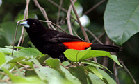 Cherrie's Tanager (Ramphocelus costaricensis) male