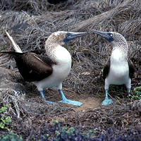 Blue-footed Booby- Sula nebouxii