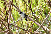 Pied Water Tyrant (Fluvicola pica)