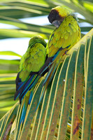 Nanday Parakeet (Nandayus nenday) also known as the Black-hooded Parakeet or Nanday Conure