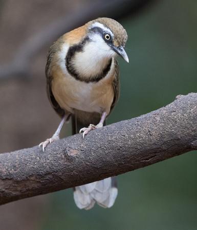 Why We Love Birds 2 23 Lung Sin Waterhole Lesser Necklaced Laughingthrush Garrulax Monileger