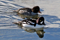 Barrow's Goldeneye (Bucephala islandica) male and female