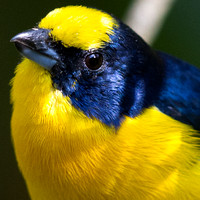 Yellow-throated Euphonia (Euphonia hirundinacea) Male