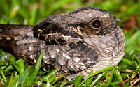 Common Nighthawk- Chordeiles minor