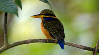 Chestnut-collared Kingfisher (Halcyon concreta) female