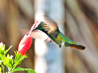 Green-breasted Mango- Anthracothorax prevostii