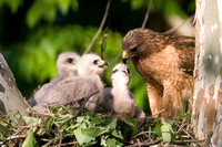 Red-shouldered Hawk (Buteo lineatus) adult and chicks