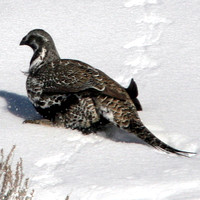Sage Grouse- Centrocercus urophasianus