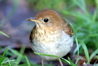Veery- Catharus fuscescens