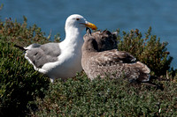 Western Gull (Larus occidentalis) adult with juvenile