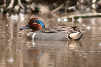 Green-winged Teal (Anas carolinensis) male
