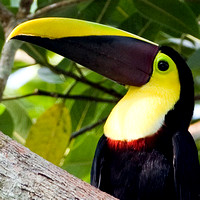 Barbets, Toucans - Ramphastidae