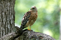 Red-shouldered hawk (Buteo lineatus) Male