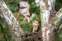 Red-shouldered Hawk (Buteo lineatus) juvenile