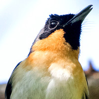Spectacled monarch (Symposiachrus trivirgatus) Male