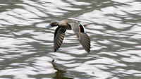 Andean Teal (Anas andium)