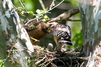 Red-shouldered Hawk (Buteo lineatus) adult and juvenile