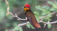 Ruby-topaz Hummingbird (Chrysolampis mosquitus) male