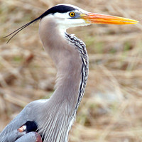 Great Blue Heron- Ardea herodias