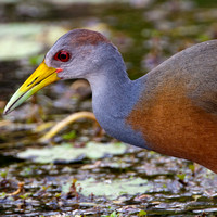Rallidae -Rails, Crakes and Coots