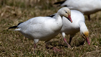 Snow Goose (Chen caerulescens) also known as Blue Goose