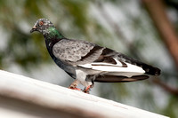 Rock Pigeon (Columba livia) also known as Rock Dove