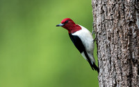 Red-headed woodpecker (Melanerpes erythrocephalus)