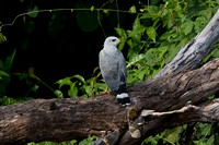 Grey Hawk (Buteo nitidus) also known as Grey-lined Hawk
