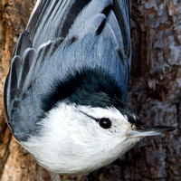 Nuthatches, Wallcreeper, treecreepers, mockingbirds, startlings & oxpeckers