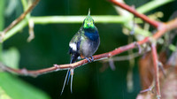 Black-bellied Thorntail (Discosura langsdorffi)