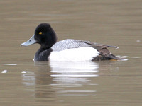 Lesser Scaup (Aythya affinis) male