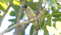 Green Barbet (Stactolaema olivacea)