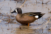 Blue-winged Teal- Anas discors