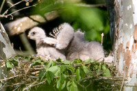 Red-shouldered Hawk (Buteo lineatus) chicks