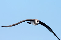 Long-tailed Jaeger (Stercorarius longicaudus) also known as Long-tailed Skua