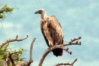 White-backed Vulture- Gyps africanus