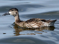 Blue-winged Teal (Anas discors) female