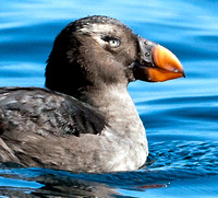 Tufted Puffin- Fratercula cirrhata