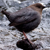 Dippers- Cinclidae