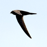 IMG_2788-swift-thumb