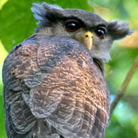 Barred Eagle-Owl- Bubo sumatranus