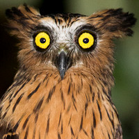 Buffy Fish Owl- Bubo ketupu