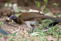 Grey-headed Chachalaca (Ortalis cinereiceps)