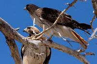 Red-tailed Hawks (Buteo jamaicensis) nesting pair