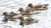Andean Teal- Anas andium