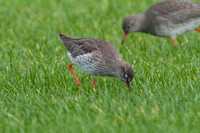Common Redshank (Tringa totanus) also known as Redshank