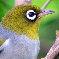 White-eyes-Zosteropidae